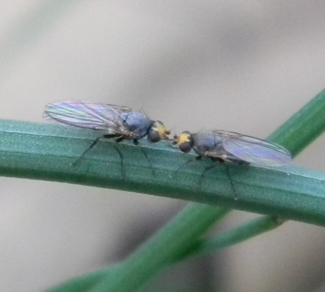 Adult allium leafminers