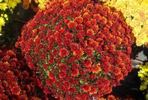 Garden mum 'Antica Bronze'