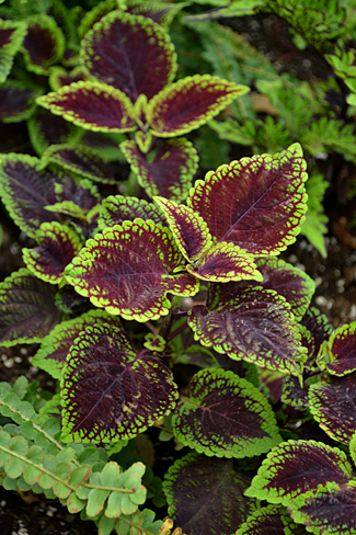 coleus 'Lord Voldemort' in Buffalo