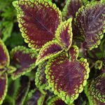 coleus Lord Voldemort in Buffalo