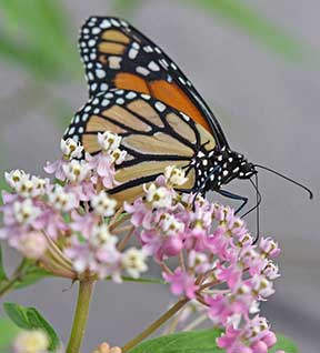 monarch butterfly by Donna Brok
