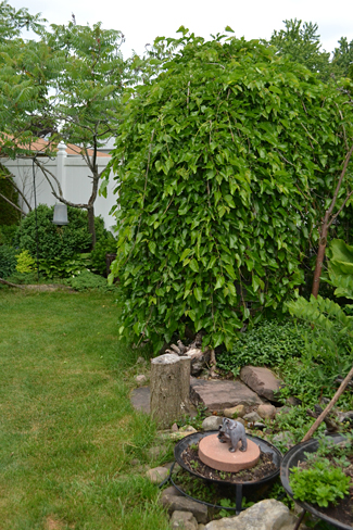 weeping mulberry in Lancaster NY