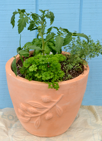 herbs and tomato plants in pot