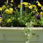 dichondra in window box in Amherst NY