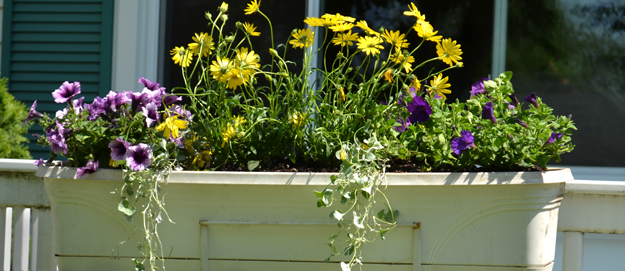 dichondra in window box in Amherst NY