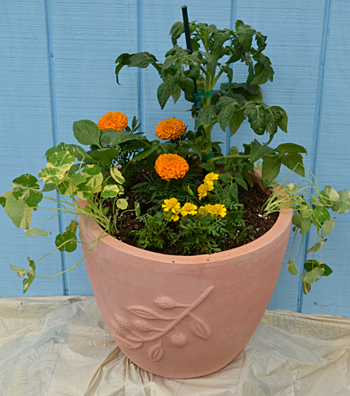 Why you should plant veggies in containers plus a shocking tip on caring for veggies buffalo - Growing lavender pot ...