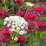 Queen Anne's lace among monarda in Buffalo