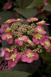 Tuff Stuff Red mountain hydrangea courtesy Proven Winners