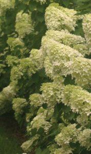 hydrangea limelight courtesy Proven Winners