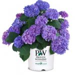 hydrangea macrophylla Let's Dance Rhythmic Blue from Proven Winners