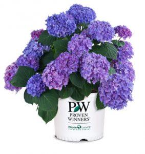 hydrangea macrophylla Let's Dance Rhythmic Blue from Proven Winners