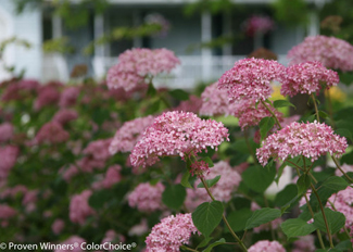 invincibelle_spirit_hydrangea courtesy Proven Winners