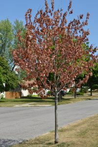 tree in drought dead leaves Amherst NY