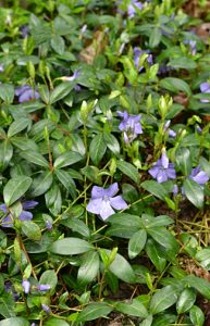 vinca minor in Amherst NY by Stofko
