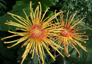 spider mums at Buffalo and Erie County Botanical Gardens