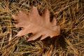 oak leaf on pine needles