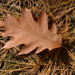 oak leaf on pine needles