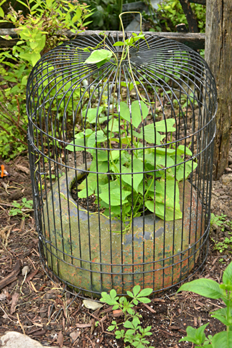 parrot cage protects plant from rabbits