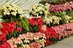 poinsettias at Buffalo and Erie County Botanical Gardens