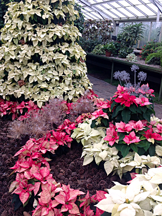 poinsettia display at Buffalo and Erie County Botanical Gardens