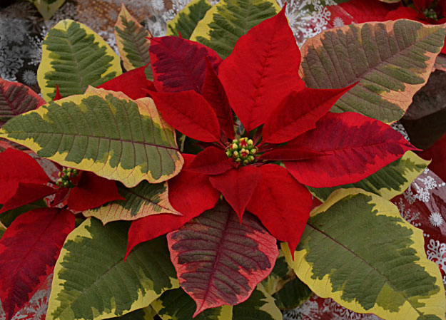 poinsettia 'Tapestry'