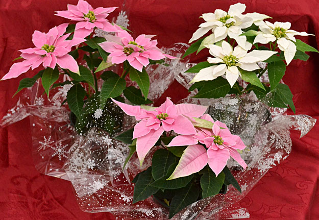 Two new varieties of poinsettia, mini pink Princettia and mini white Princettia, are miniatures that will stay small. Photo by Connie Oswald Stofko