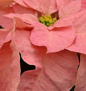 Poinsettia 'Pink Ruffles'