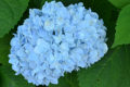 blue hydrangea in Western New York