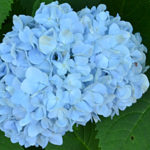 blue hydrangea in Western New York