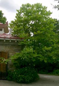 big leaf magnolia near house
