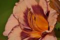 pink and purple daylily