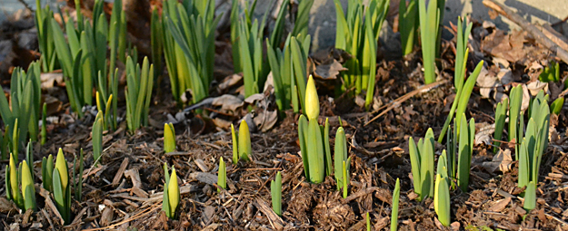 spring bulbs sprouting