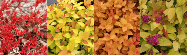 Spirea japonica Double Play Candy Corn