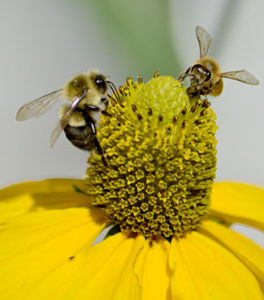 two bees on a flower