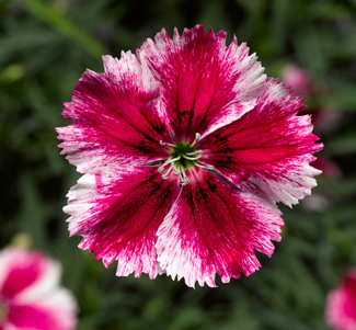 Dianthus Super Parfait 'Crimson Star'