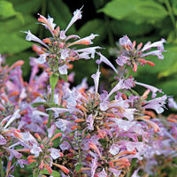 agastache Arizona 'Sunset'