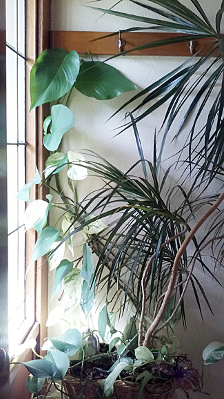 philodendron by window