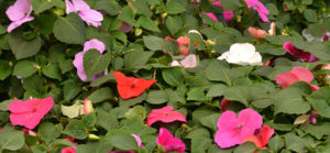 healthy impatiens by Stofko