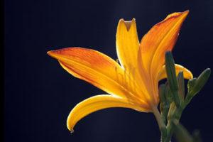 flower photo courtesy Jamestown Audubon
