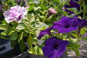 Supertunia petunias in Springville New York