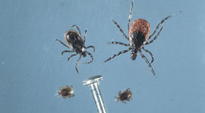 blacklegged ticks, adults and nymphs