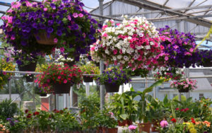 hanging baskets in Springville NY