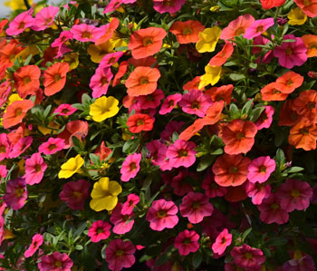 orange calibrachoa in West Seneca New York