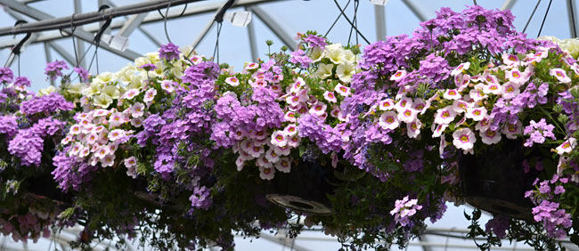 row of hanging baskets in West Seneca New York