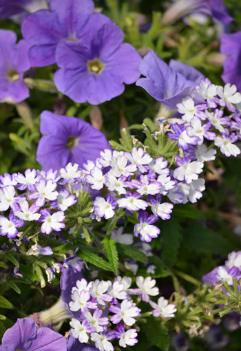 verbena and petunia flowers