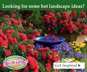 Flower Carpet Roses ad