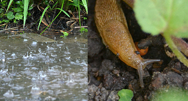 water in garden and closeup of slug