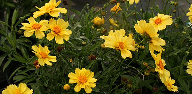 Coreopsis Is A Low Growing Perennial That Blooms For Several Weeks From Summer To Fall Photo Courtesy Mischler S Florist And Greenhouses Heuchera