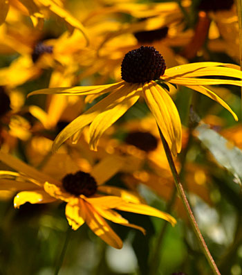 black-eyed Susans in Amherst New York