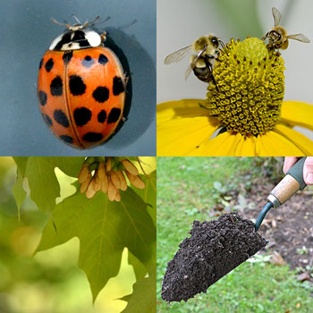 lady bug, bees on a flower, maple leaf, soil